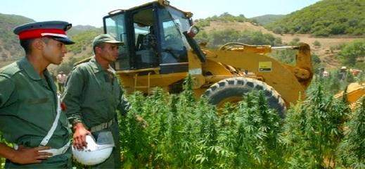 """تستورد من اسرائيل.. سلطات الحسيمة تمنع زراعة بذور الكيف المعروفة بـ""""تريكتا"""" وعقوبات تنتظر مستعمليها"""