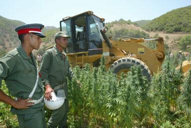 رغم زيادة مساحات الأراضي المزروعة.. تراجع ملحوظ في إنتاج القنب الهندي والحشيش في المغرب