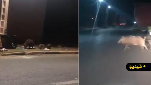 فيديو.. خنازير برية تتجول بأحد احياء جماعة رأس الماء
