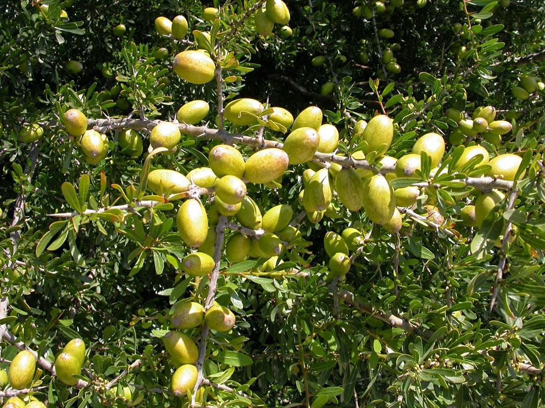 """إسرائيل تقوم بـ""""استنساخ"""" شجرة أركان تتجاوز ما تنتجه نظيرتها المغربية بعشرة أضعاف"""