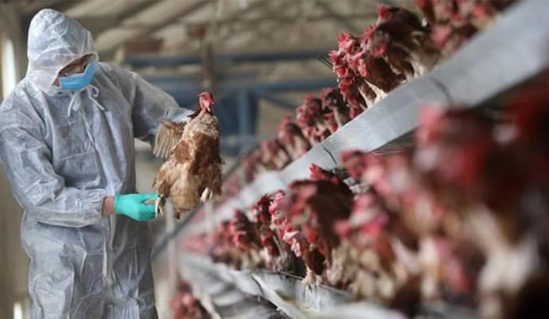 """هولندا.. """"إعدام"""" أزيد من 215 ألف دجاجة بسبب أنفلونزا الطيور"""