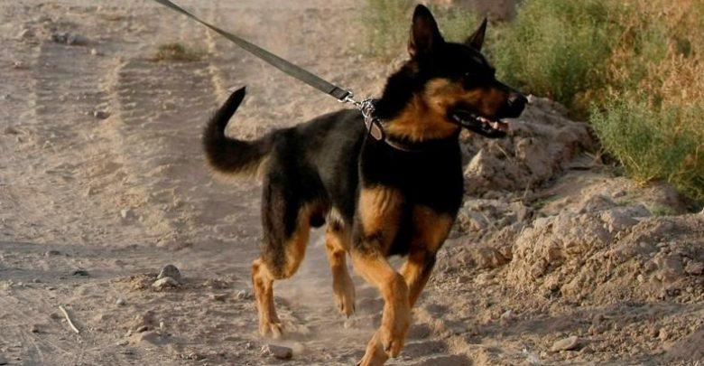 الجيش المغربي يُجهض محاولة لانفصاليي البوليساريو التجسّس في المنطقة العازلة بكلب مزود بكاميرا