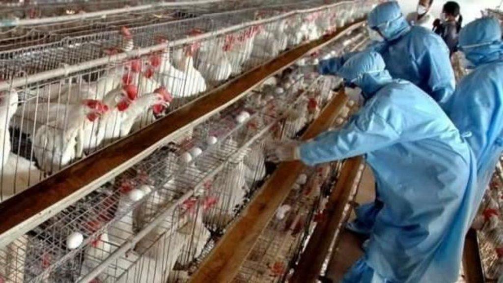 """بعد رصد السلالة الجديدة من كورونا في المغرب.. مربّو الدواجن يحذرون من دخول """"إنفلونزا الطيور"""""""