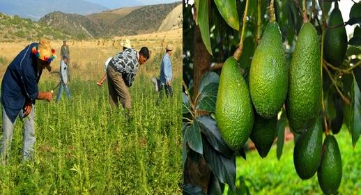 """استراتيجية فلاحية جديدة بالمغرب.. تعويض زراعة """"الكيف"""" بفاكهة """"لافوكا"""" بالشمال"""