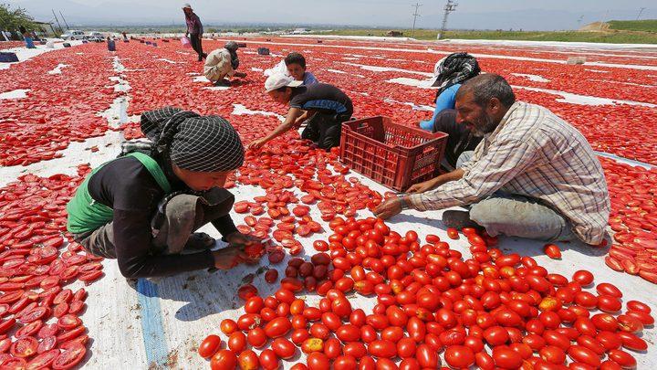 إسبانيا تطالب بتشديد الرقابة على الطماطم المغربية