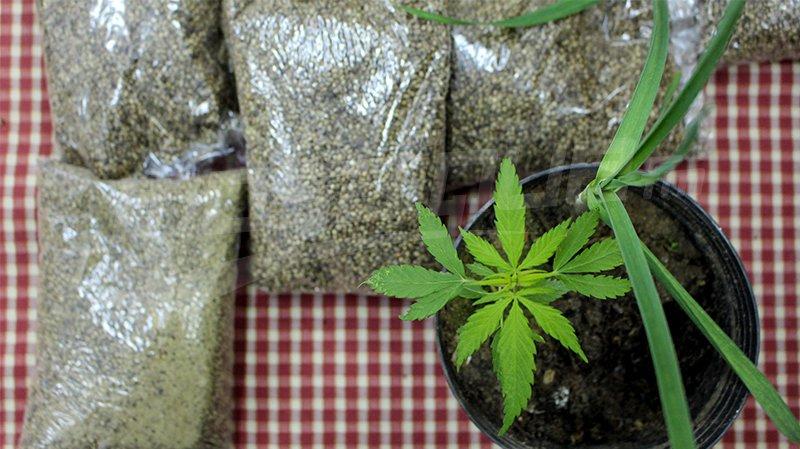 """تعرفوا على فوائد نبتة """"الحشيش"""" التي يريد المغرب تقنين زراعتها"""