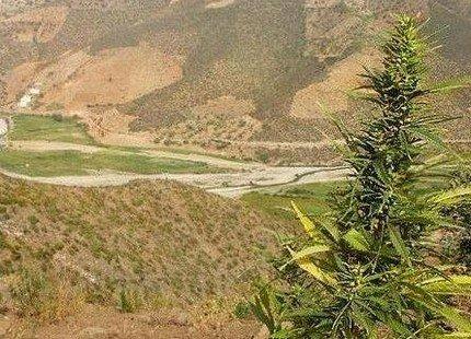إدانة حوالي 50 فلاحا حرثوا الغابة لزراعة الكيف بالحسيمة