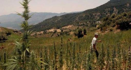 """اعتقال فلاح بإقليم الناظور بسبب زراعة """"الكيف"""""""