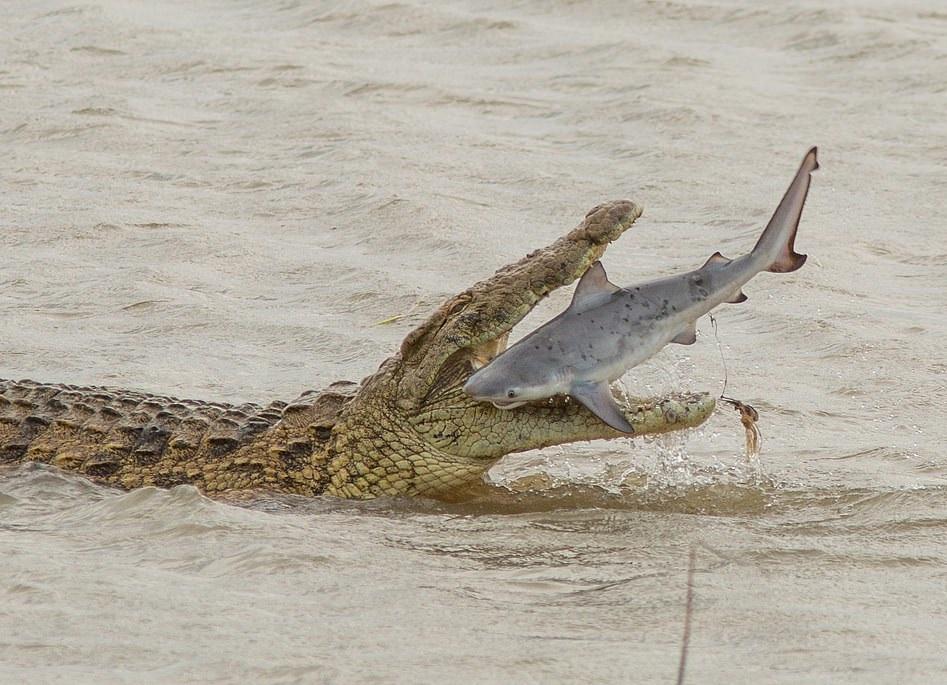 صور لقاء نادر الحدوث.. تمساح عملاق يبتلع سمكة قرش