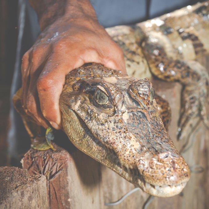 بالصور.. العثور على تمساح في قناة بروكسل ببلجيكا