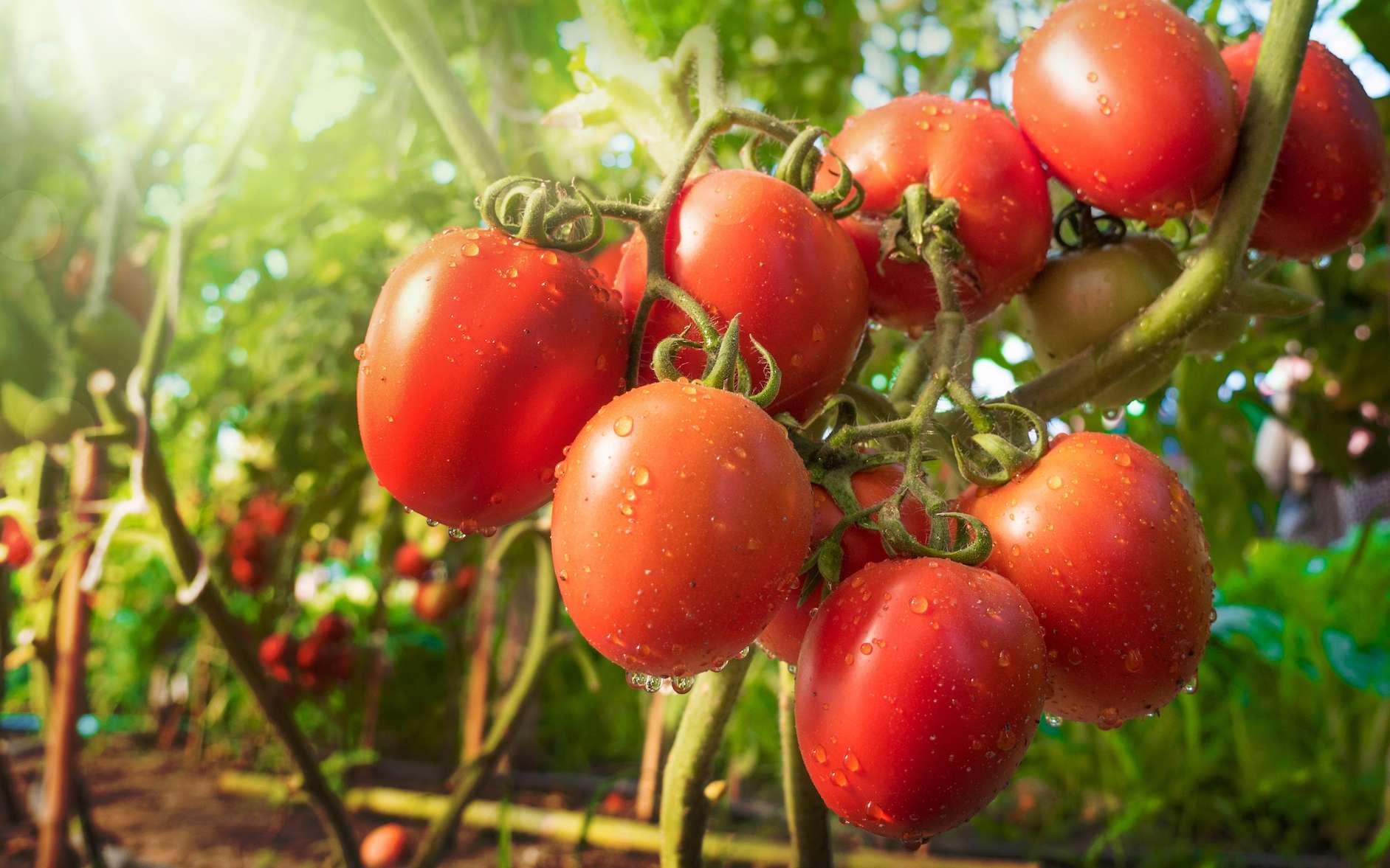 حرب جديدة بين المغرب وإسبانيا بسبب الطماطم