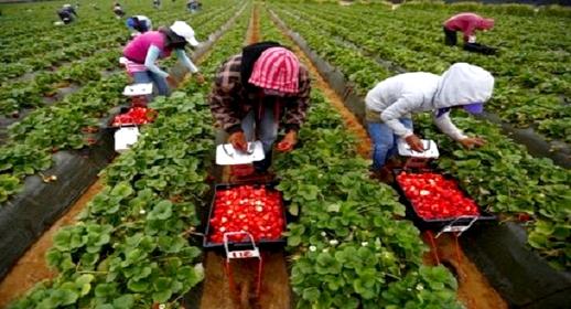 المغرب يشرع في استقبال العاملات في حقول الفراولة بإسبانيا