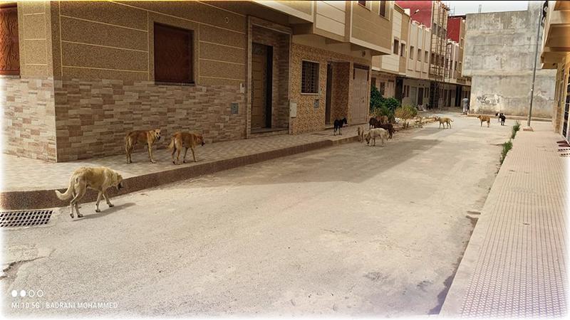 الكلاب الضالة تهدد سلامة المواطنين بالناظور