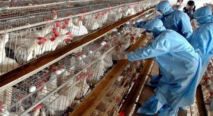 تشديد المراقبة بالمعابر لمنع دخول الدواجن بعد تسجيل حالات اصابة بأنفلونزا الطيور بفرنسا