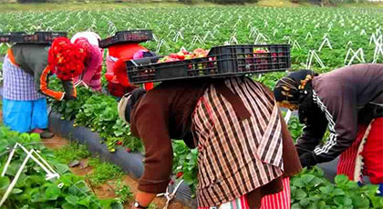 حقول الفراولة الاسبانية تستعد لإستقبال أزيد من 1500 مغربية من بينهن ريفيات لجني الفاكهة