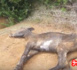 بالفيديو.. التخلص من حيوانات نافقة في منطقة عاريض يثير إستياء المواطنين