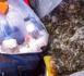 مصالح الامن بمليلية المحتلة تلقي القبض على مهاجر حاول إدخال ثعابين بحر في رحلة قادمة من ألميريا