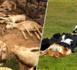 الحمى القلاعية تقترب من الريف والسلطات تعدم قطيعا من الأغنان والأبقار ضواحي إقليم الحسيمة