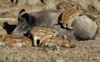 تكاثر الخنزير البري بأعداد كبيرة يرغم الجهات المعنية على إطلاق موسم القنص بجهة الشمال