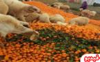 """بعد إنهيار أسعار البرتقال في الأسواق .. الفلاحون يبيعون محصولهم بنصف درهم """"للكليو"""" أو يتلفونه"""