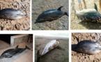 خبراء منظمة عالمية يحلون بالمغرب للتحقق من أسباب نفوق الدلافين ببحر البوران بسواحل الريف