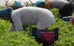 إسبانيا ترفع من عدد العاملات المغربيات المطلوبات لجني الفراولة