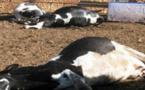 أونسا تستنفر مصالحها بعد انتشار اخبار عن إصابة أبقار بالحمى القلاعية
