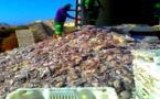 ضبط 75 طنا من الأخطبوط المُهٓرب في ملكية برلماني جنوب اسبانيا