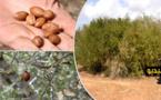 """الدريوش.. تعاونية """"الدغالة"""" تكتشف منطقة خصبة لشجر الأركان ومطالب بتثمين زراعته وتعزيزه في القطاع الفلاحي"""