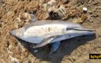 بالصور.. بحر الحسيمة يلفظ دلفينا من نوع النيغرو