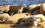 سرقة عدد من رؤوس الأغنام بضيعة فلاحية محلية  بجماعة مطالسة