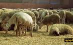 صابرينا موح: وزارة الزراعة لم تسمح لحد الآن بمرور أضاحي العيد من المدن المغربية الى مليلية