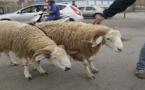 الأمين العام للزراعة والغذاء الإسباني يؤكد منع مسلمي مليلية من استيراد أضاحي العيد من المغرب