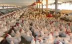 الجمعية الوطنية لمربي الدجاج تطالب بسحب مذكرة وزارية تهدد مستقبل نصف مليون أسرة