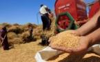 انتاج 52 مليون قنطارا من الحبوب خلال الموسم الفلاحي الحالي بالمغرب