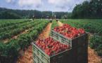 إسبانيا تعلن عن رغبتها في 16 ألف عاملة مغربية في حقول جني الفراولة وهذا تاريخ إنتقائهن