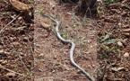 إنتشار الثعابين والزواحف وسط المحاصيل الزراعية يقلق الفلاحين بالريف