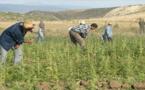 المغرب يصوت من أجل إزالة الحشيش من المخدرات الأكثر خطورة