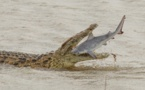 صور لقاء مدهش.. تمساح عملاق يبتلع سمكة قرش