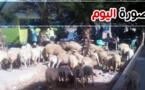 صورة اليوم : القطيع يقتات على المساحات الخضراء ببني أنصار بلا مانع ولا رادع