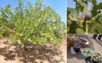 إقبال كبير على شراء فاكهة التين بأسواق الجماعة القروية لتمسمان