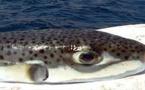 جمعية خريجي معهد التكنولوجيا للصيد البحري بالحسيمة تحذر من استهلاك الأسماك السّامة