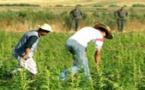 أباطرة المخدرات والكيف أتوا على الأخضر واليابس على جبل الأرز بإقليم الحسيمة