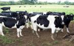 ترقيم أزيد من مليوني رأس من الأبقار تمهيدا لتتبع مسارها من قبل الدرك الملكي