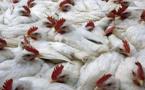 المغرب يعلن عن أول ظهور لإنفلونزا الطيور بالبلاد